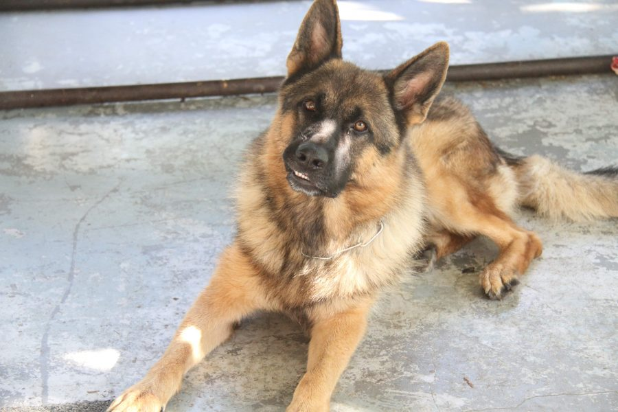 Is a Police Dog Worth the Money?