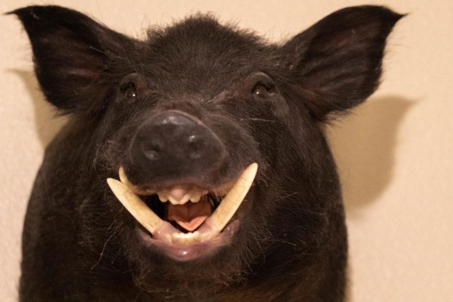 Wild Hog- Hunter: Shane Olsen Location: Graham Texas